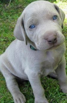 41648a68b5717f5ec3424cd4a65819ee--weimaraner-puppies-funny-animals.jpg